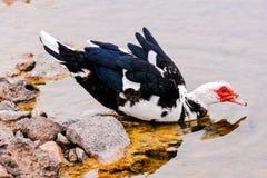 狂放Muskovy的鸭子 库存图片