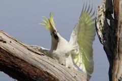 狂热美冠鹦鹉 库存照片