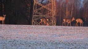 狍在农业冬天领域的狍属小组 股票视频