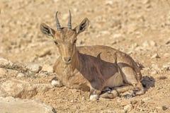 狍在干旱的沙漠 免版税库存图片