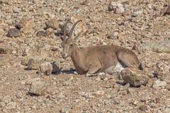 狍在干旱的沙漠 免版税库存照片
