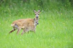 狍属鹿欧洲獐鹿 免版税库存图片
