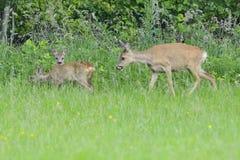 狍属鹿欧洲獐鹿 库存照片