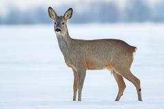 狍狍属狍属在雪的冬天 免版税库存照片