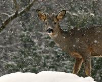 狍的头的特写镜头,狍属在降雪的狍属男性 免版税库存图片