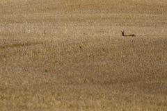 狍,狍属狍属,在庄稼领域内,顶头射击,当在威严,苏格兰时的下午采取的漫游 免版税库存照片