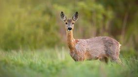 狍,狍属狍属,母鹿女性在站立在草甸的春天 免版税库存图片