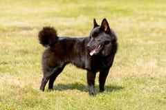 狐头竖耳无尾短毛小黑犬回顾 免版税图库摄影