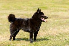 狐头竖耳无尾短毛小黑犬朝前看 免版税库存照片
