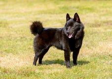 狐头竖耳无尾短毛小黑犬看得在旁边 免版税库存照片
