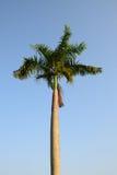 狐尾在风的棕榈树与蓝天 免版税库存图片