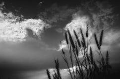 狐尾杂草在晚上 免版税库存图片
