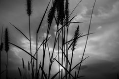 狐尾杂草在晚上 免版税图库摄影