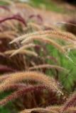 狐尾杂草草开花,自然被弄脏的背景 库存照片