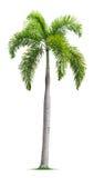 狐尾棕榈树 图库摄影