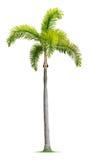 狐尾棕榈树 库存照片