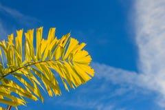 狐尾棕榈(Wodyetia分枝A K 在蓝色下的尔湾)叶子 库存照片