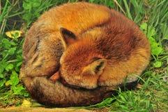 狐狸休眠 免版税库存照片