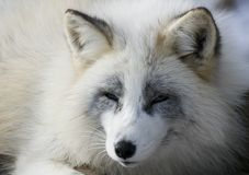 狐狸冬天 库存图片