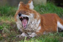 狐狸吼声 库存照片