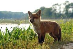 狐狸在红色通配附近的工具箱湖 库存图片