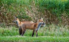 狐狸少年红色 图库摄影