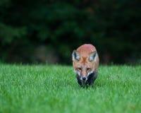 狐狸少年红色 免版税库存图片