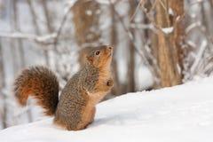 狐狸尼日尔中型松鼠灰鼠 库存图片