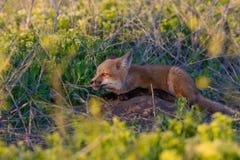 狐狸工具箱明尼苏达北被拍摄的红色 图库摄影