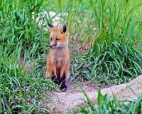 狐狸工具箱明尼苏达北被拍摄的红色 库存照片