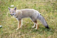 狐狸巴塔哥尼亚人 库存照片