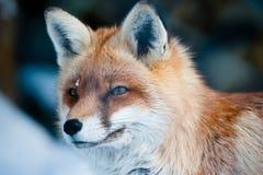 狐狸拉特银币红色狐狸 库存照片