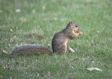 狐狸松鼠享用在草,达拉斯,得克萨斯的一枚坚果 图库摄影