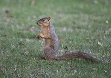 狐狸松鼠享用在草,达拉斯,得克萨斯的一枚坚果 库存照片