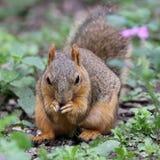 狐狸松鼠吃 图库摄影