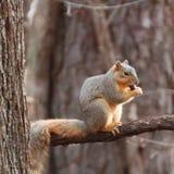 狐狸松鼠坐肢体 库存照片
