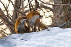 狐狸求婚 免版税库存照片