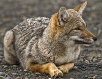 狐狸灰色少许巴塔哥尼亚人 免版税库存图片