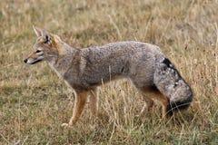 狐狸灰色 免版税库存照片
