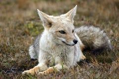 狐狸灰色 库存图片