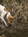 年轻狐狸狗有水 免版税图库摄影