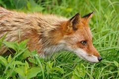 狐狸狩猎红色 免版税库存照片