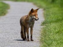狐狸狩猎 库存图片