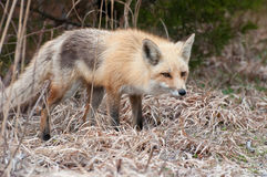 狐狸狩猎 图库摄影