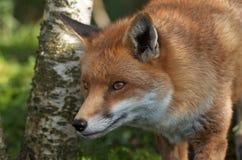 狐狸狩猎 免版税库存照片