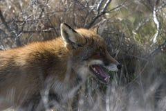 狐狸的纵向 免版税库存图片