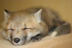 狐狸红色年轻人 库存图片