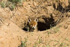 狐狸红色年轻人 库存照片