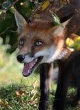 狐狸红色狐狸年轻人 库存图片
