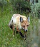 狐狸红色走 库存图片